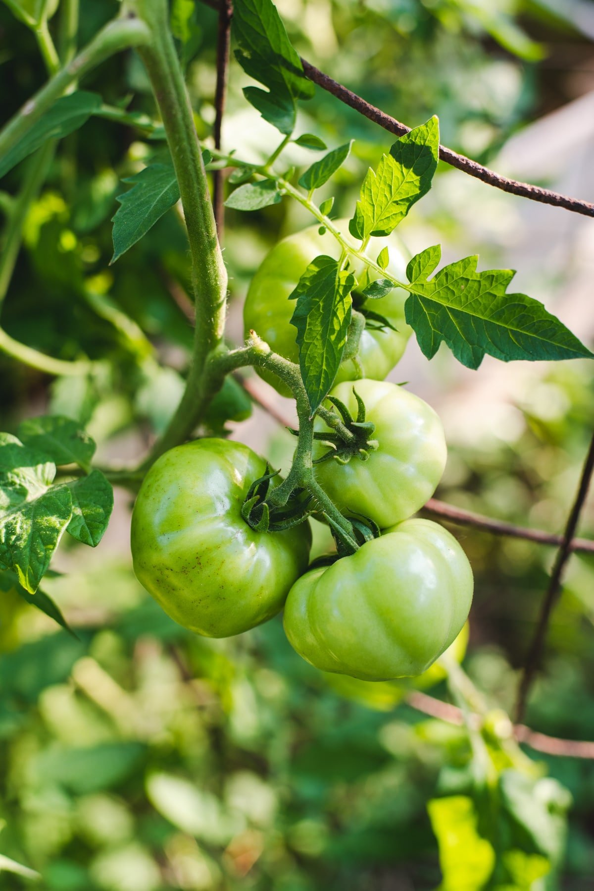 Three green tomatoes growing on a tomato plant