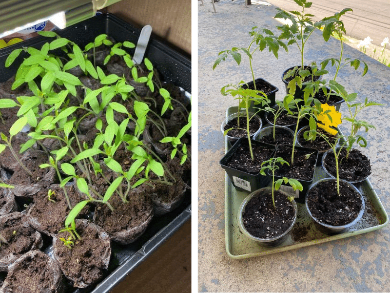 Image showing tomato seedlings and transplanted seedlings